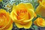 lovely-yellow-rose-09-25-2017.jpg